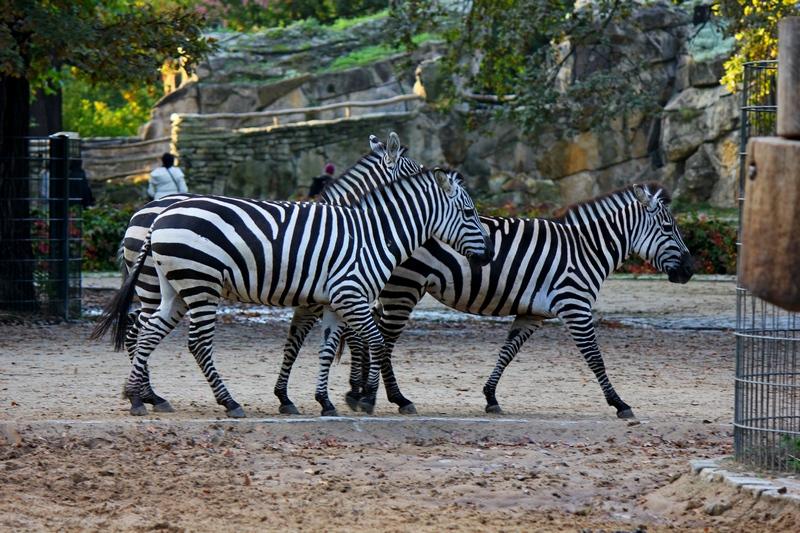 zebra at Berlin Zoo - guide to train stations in Berlin