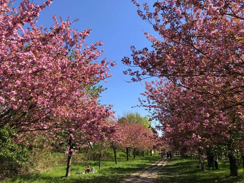 cherry blossoms in Berlin in spring