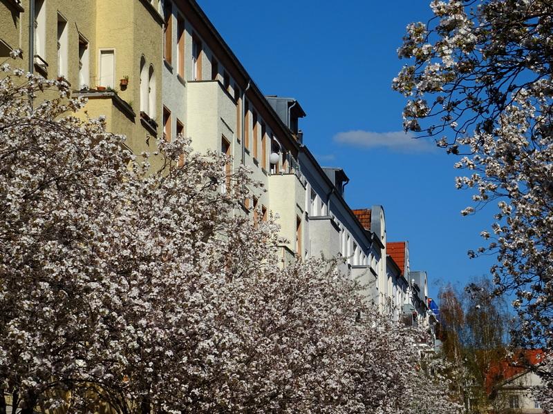 cherry blossoms in Prenzlauer Berg Berlin